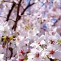 写真: 桜が咲いた16