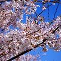写真: 桜が咲いた19