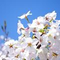 桜が咲いた27