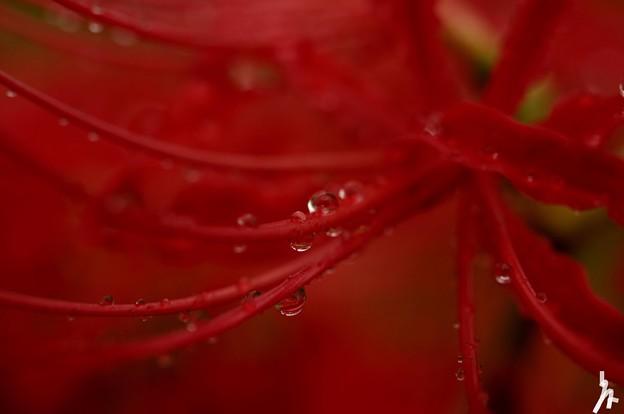 雨の日曼珠沙華