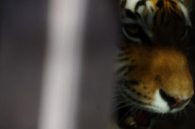 写真: 何か面白いことになった、虎
