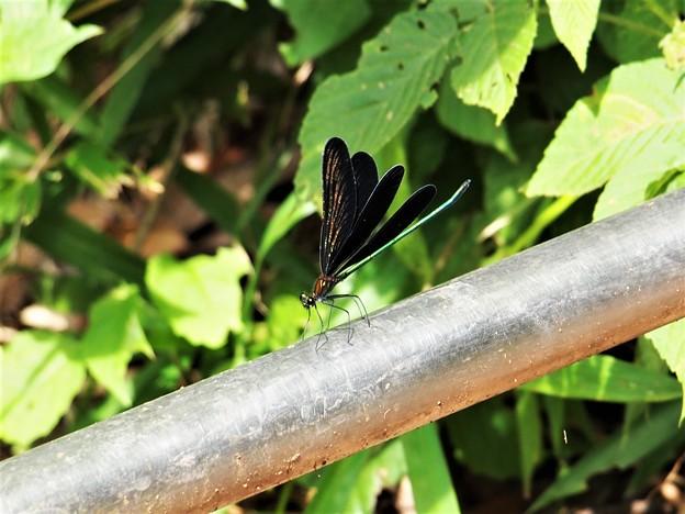 写真: 黒い翅