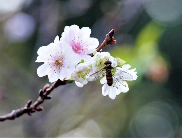 桜とアブさん