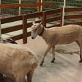 羊 臨戦態勢