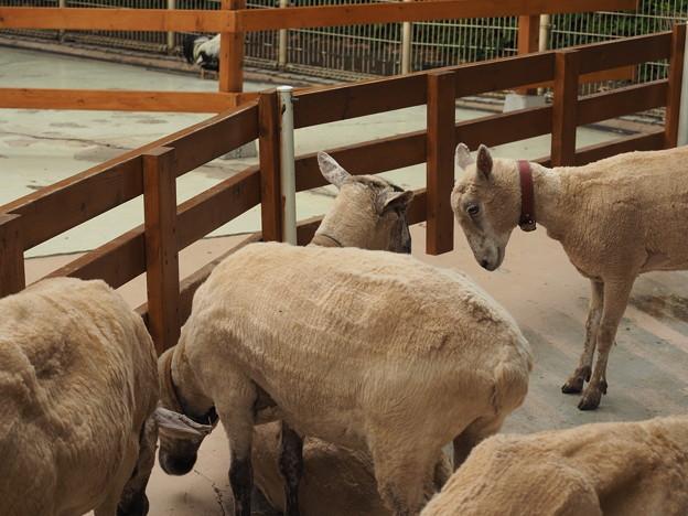 Photos: 羊 ごちーん!