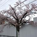 桜の木にやさしい工事現場