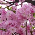 もこもこの桜