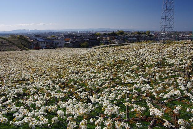 呉羽丘陵一面の梨畑