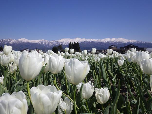 雪山と白いチューリップ 入善フラワーロード