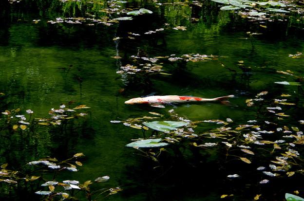 モネの池 鯉