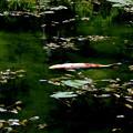 Photos: モネの池 鯉