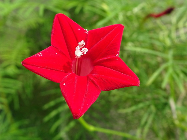 地に咲くお星さま ルコウソウ