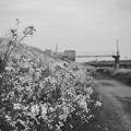 写真: あぜみちの花1