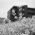 写真: あぜみちの花2