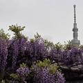 写真: 藤の花とスカイツリー