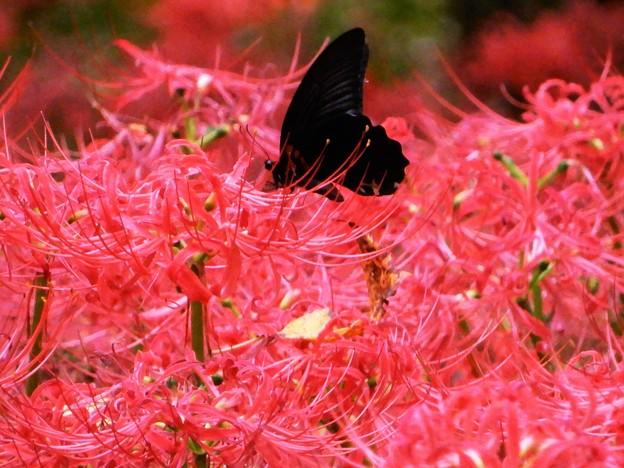 彼岸花とナガサキアゲハ
