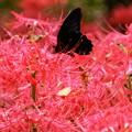 写真: 彼岸花とナガサキアゲハ