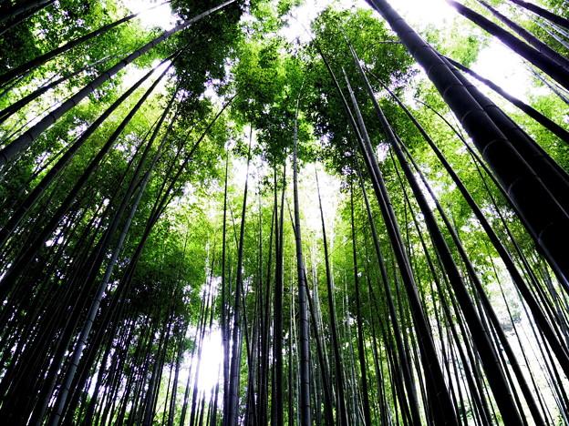 竹を見上げて