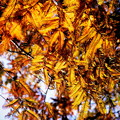 写真: こんな紅葉もあり