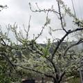 写真: スモモの花が咲いた