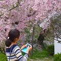 見納め…桜。。。2017