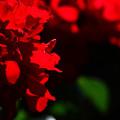 情熱の真っ赤な薔薇