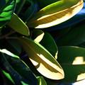 写真: 大きな葉