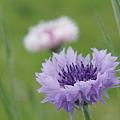 Photos: カイザルの花