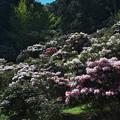 石楠花の里・1