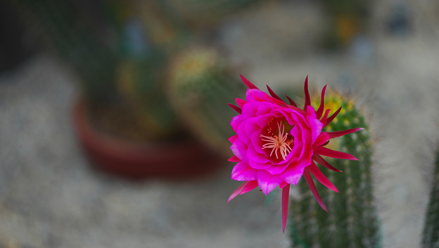 サボテンの花1-4