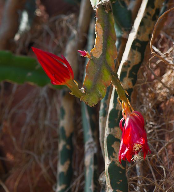サボテンの花2-2