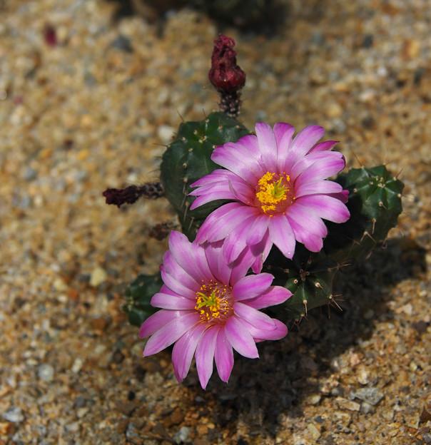 サボテンの花2-3