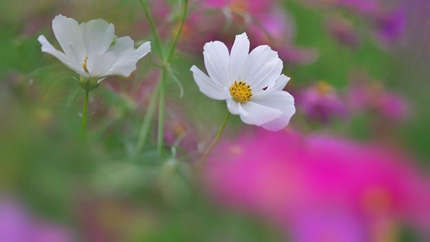 秋桜5-5
