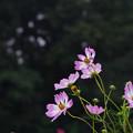 秋桜6-2