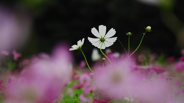 秋桜7-3