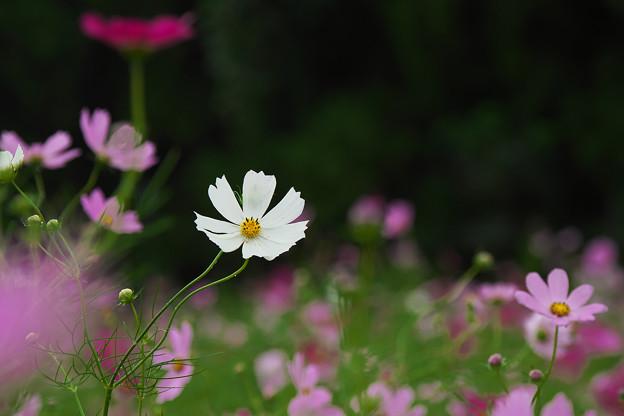 秋桜7-5