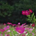 秋桜8-3
