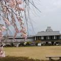 姫路城の桜(1)