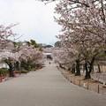 姫路城の桜(12)