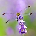 写真: ラベンダーと蜻蛉