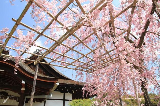 紅枝垂れ桜と尚美館