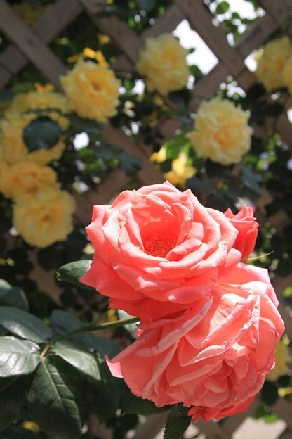 バラの彩り
