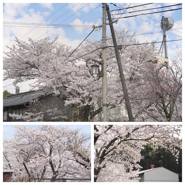 大宇陀の桜2017(20170415)_35_105mm3
