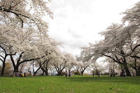 城山公園の桜・3
