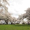 Photos: 城山公園の桜・3