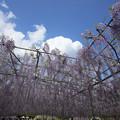 写真: 紫藤天空