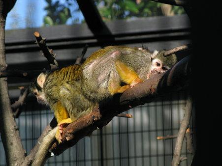 リスザル@江戸川自然動物園