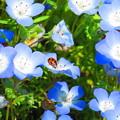 天道虫 水色の花の上で