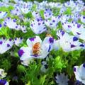 Photos: ネモフィラと蜜蜂