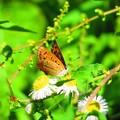 写真: 紅シジミ蝶
